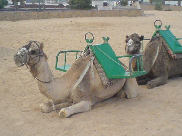 Camels - nothing like Elephants